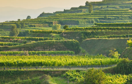 Terraces of Riesling Gebling in sunshine